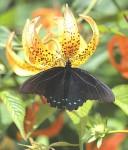 BlackButterfly4