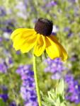 Flowers, yellow, black eyed susan