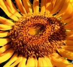 flowers, sunflower