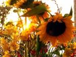 SunflowerMorning