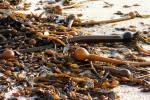 Beach, ocean, kelp, California